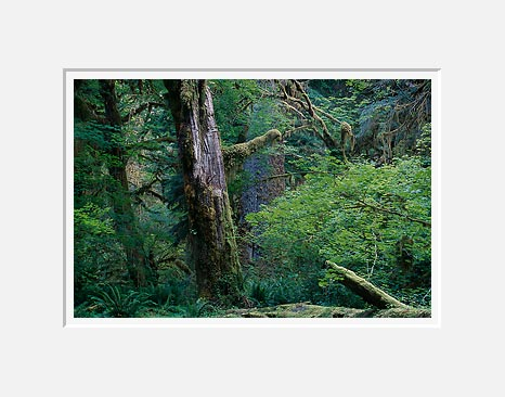 Scarred Giant, Hoh Rain Forest - Olympic National Park, Washington (38362 bytes)