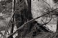 Tree Trunk and Branches, Middle Fork Taylor River - Alpine Lakes Wilderness, Washington(13132 bytes) www.jeffkrewson.com