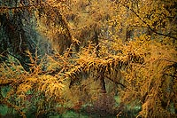 Autumn Larch, Washington Park Arboretum - Seattle, Washington (14319 bytes) www.jeffkrewson.com