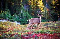 Young Deer, Valley of Heaven - Olympic National Park, Washington (13414 bytes) www.jeffkrewson.com
