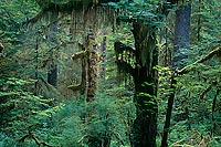 Hanging Moss, Hoh River Valley - Olympic National Park, Washington (13905 bytes) www.jeffkrewson.com