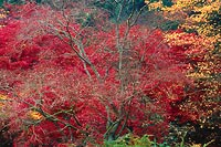 Mostly Red, Washington Park Arboretum - Seattle, Washington (13078 bytes) www.jeffkrewson.com