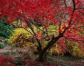 Peak Red, Washington Park Arboretum - Seattle, Washington (12170 bytes) www.jeffkrewson.com
