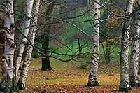 Six Birch Trees, Washington Park Arboretum - Seattle, Washington (13040 bytes) www.jeffkrewson.com