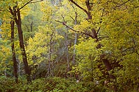 Summer Trees, Oak Creek Canyon - Highway 89A, Arizona (13386 bytes)