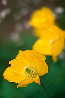 Three Poppies (7086 bytes) www.jeffkrewson.com