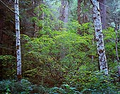 Two Birch Trees, Near Beckler River - North Cascade Mountains, Washington (12288 bytes) www.jeffkrewson.com