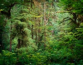Wall of Green - Hoh Rain Forest, Washington (11390 bytes) www.jeffkrewson.com